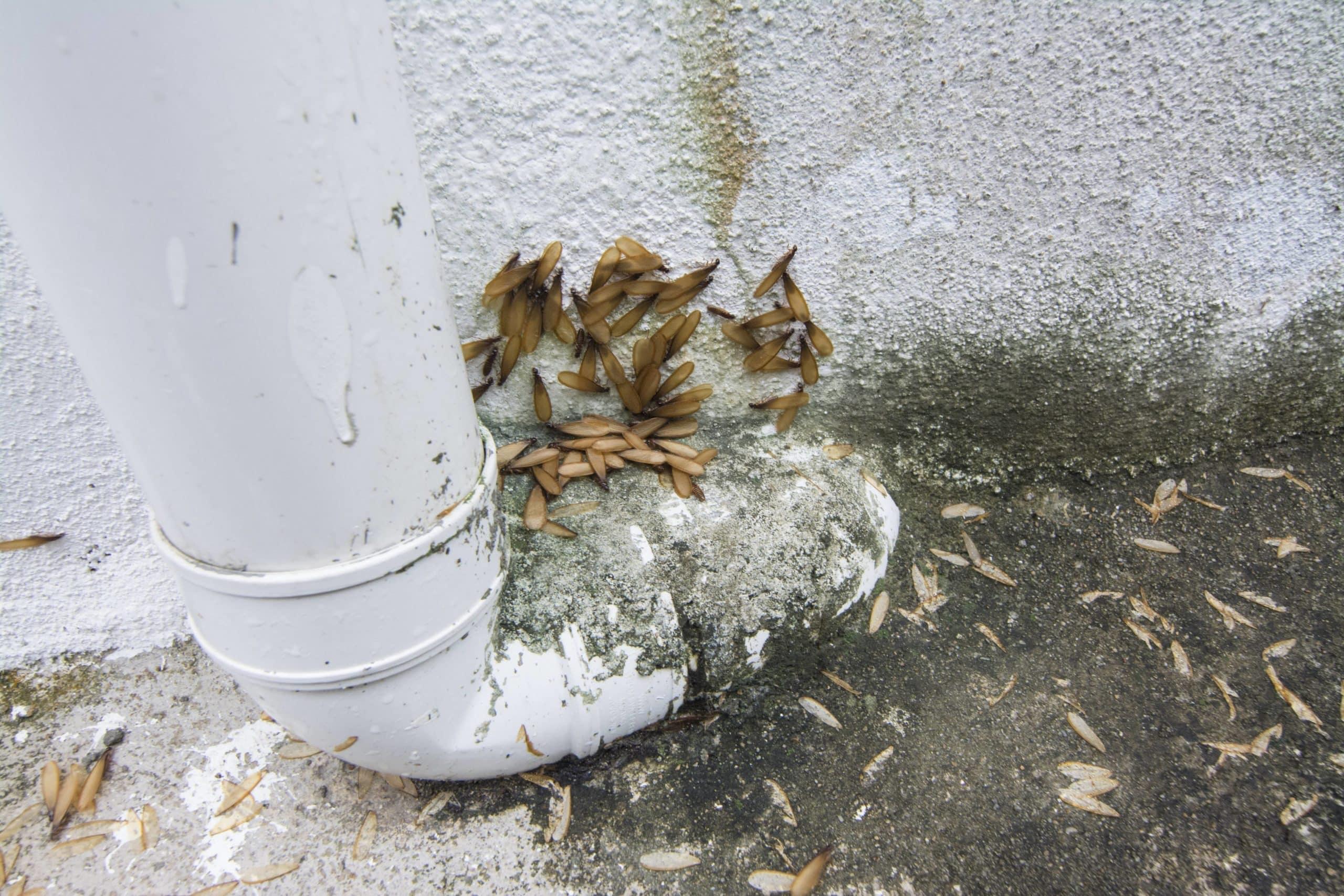 When termites swarm what to do